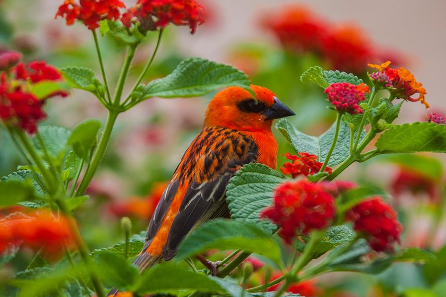 faune_terrestre36_cardinal_male_foudi_de_madagascar---CREDIT-IRT---yabalex_dts_07_2019