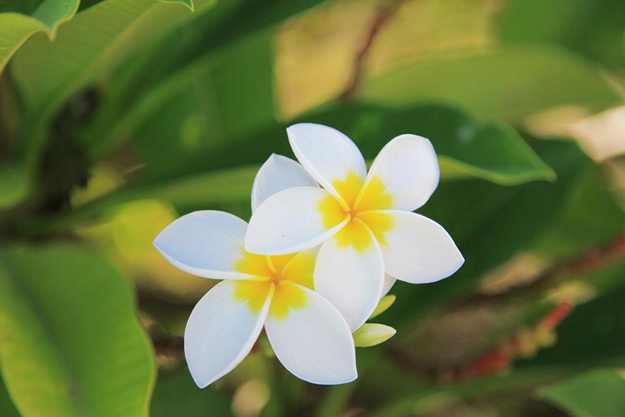 fleurs55_frangipaniers---CREDIT-IRT---emmanuel_virin