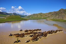 Mongolia, horses crossing the river Orkhon