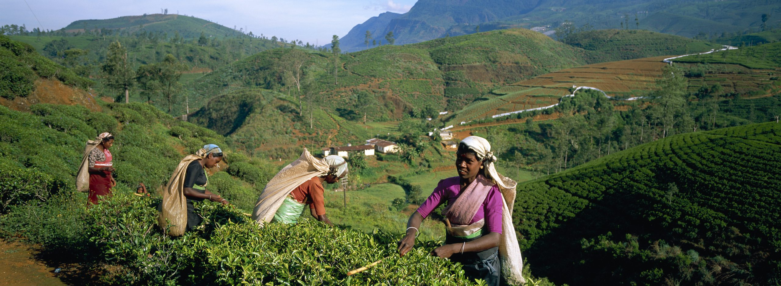 Tea harvest - Tea collect - Nuwara Eliya - Sri Lanka