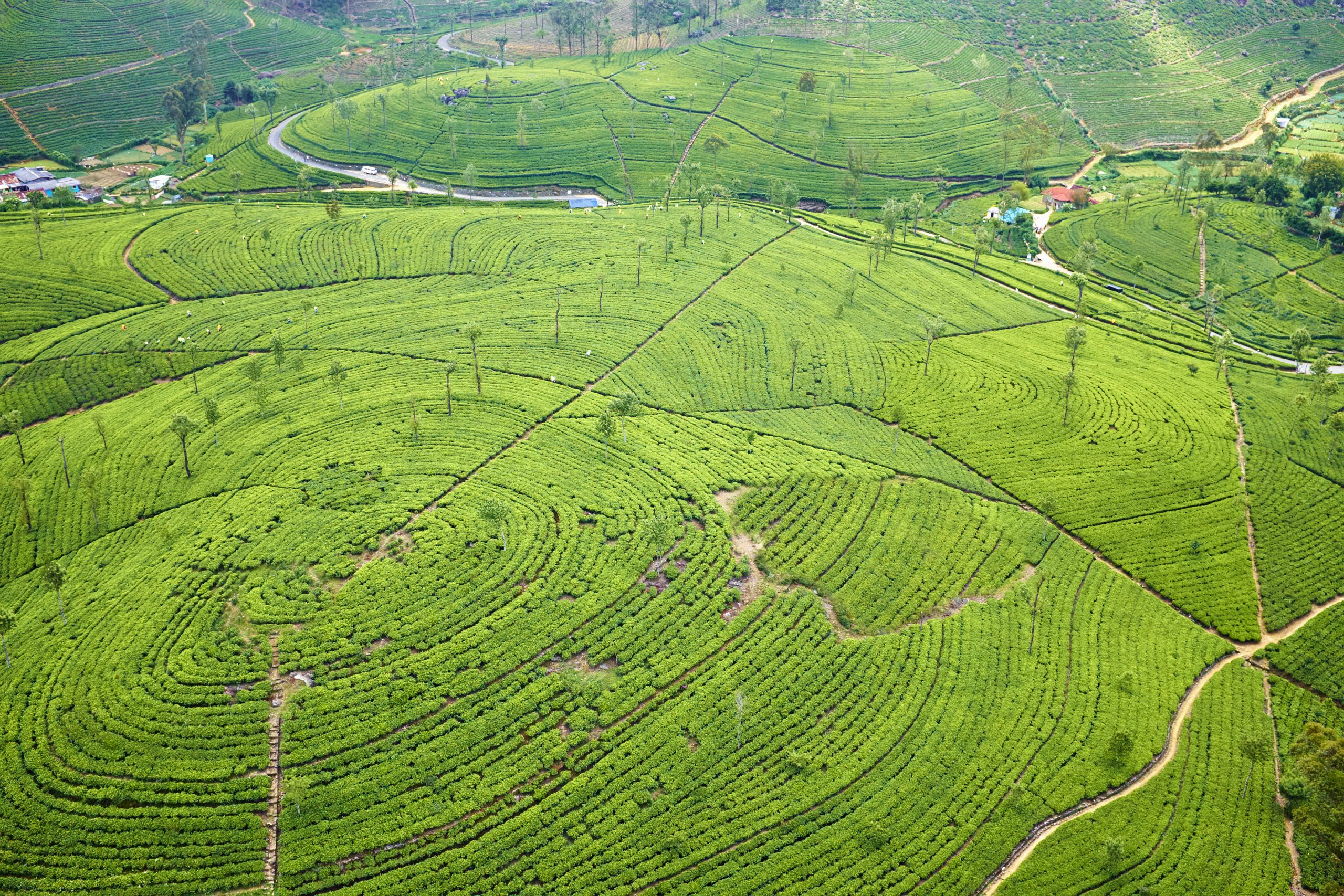 Sri Lanka, Haputale, tea plantation