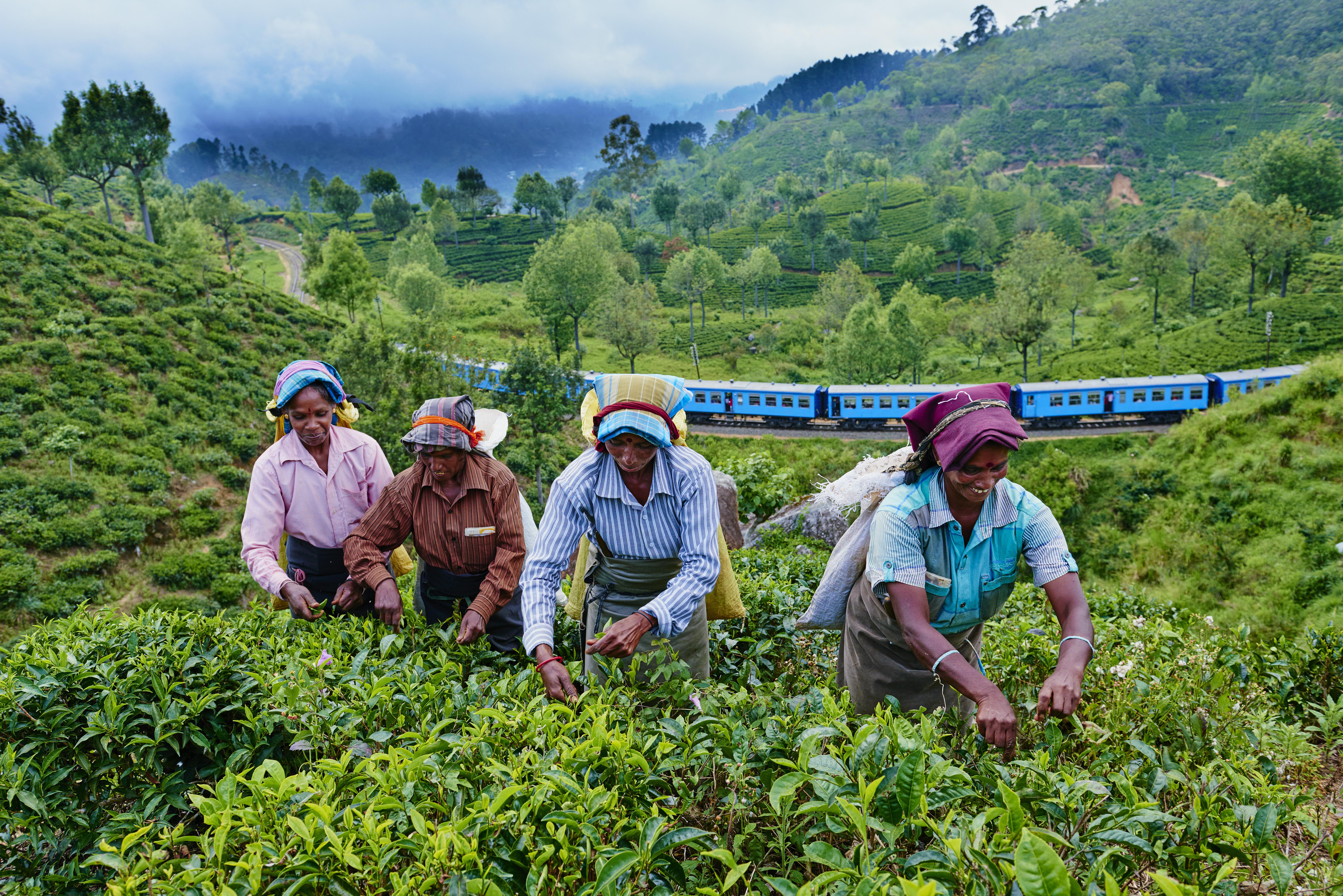 Sri Lanka, Haputale, tea plantation