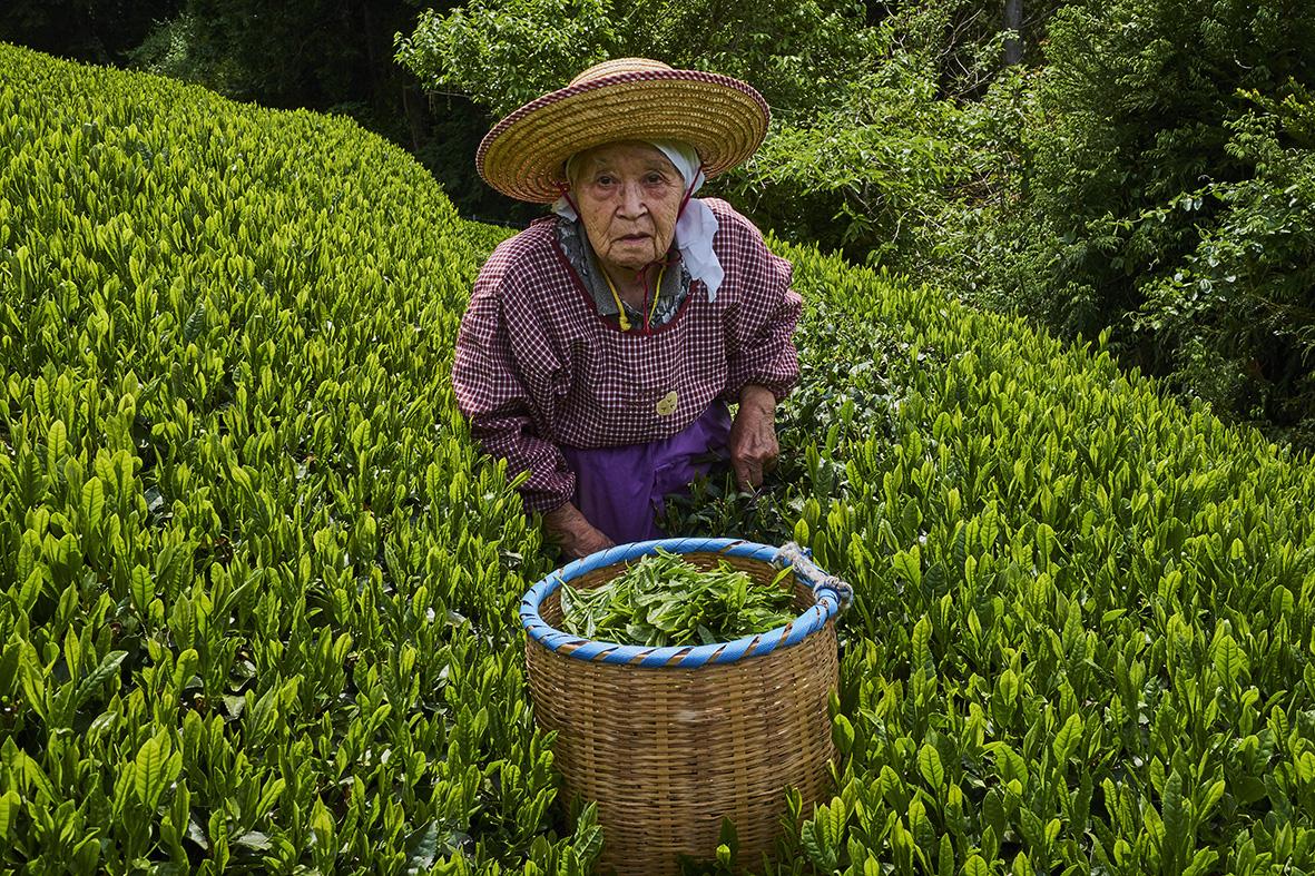 Japan, Honshu, Shizuoka, tea fields