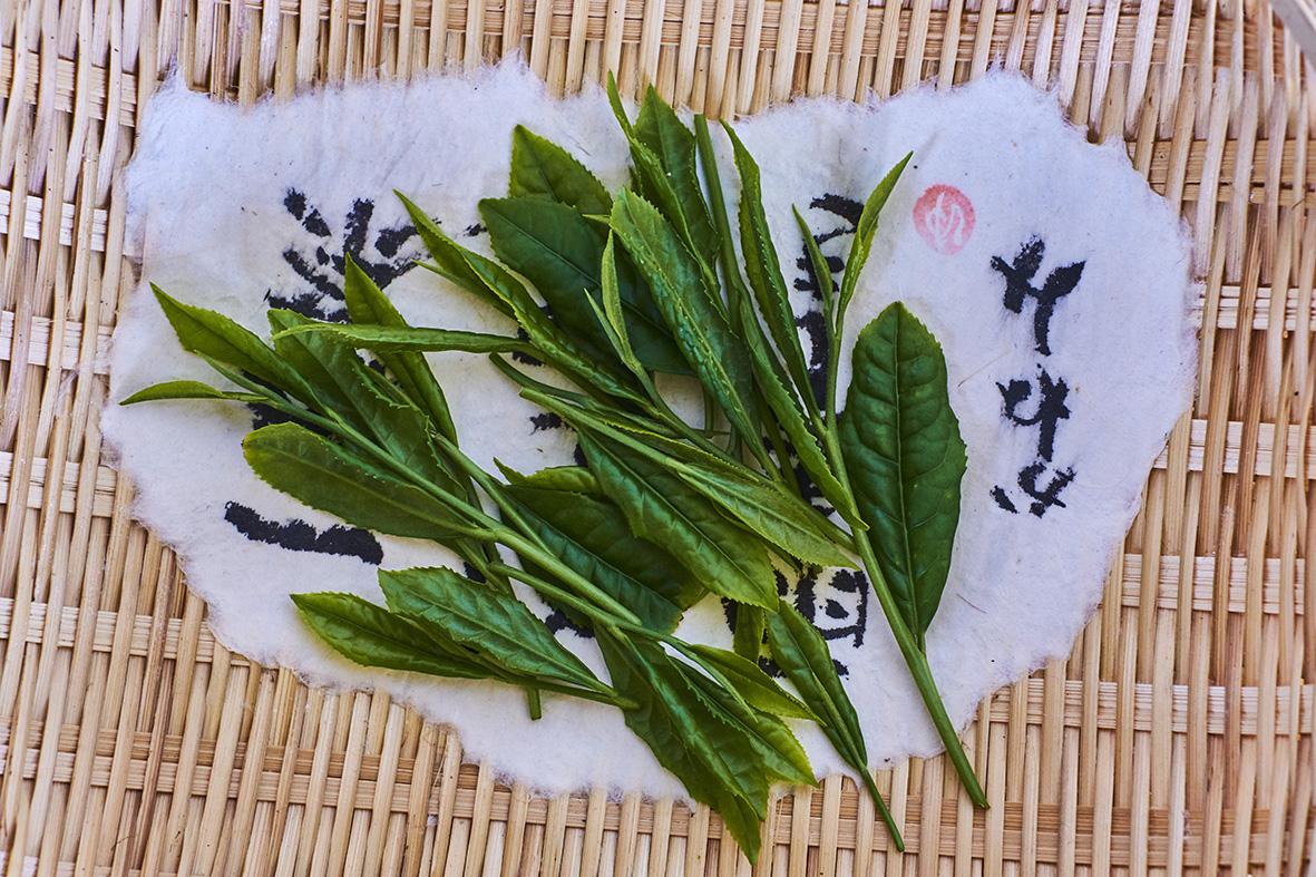 Japan, Honshu, Shizuoka, tea leaf