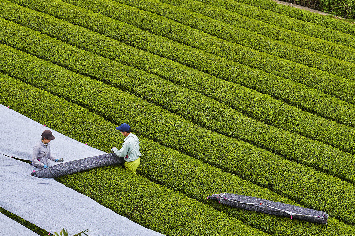 Japan, Honshu island, Kansai region, Uji, tea field