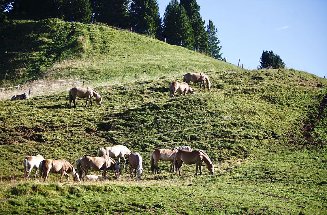 chevaux haflinger